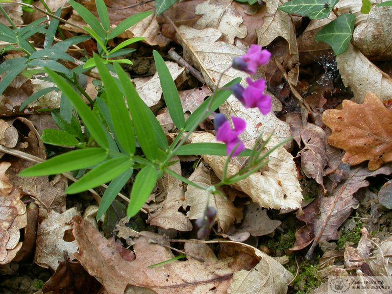De Flore Montanus Subsp Linifolius Gers La 02 Images Lathyrus Du FlKTc31Ju5